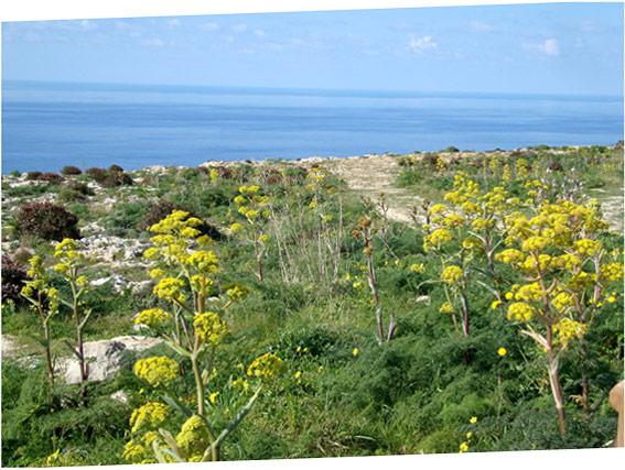 Le long des falaises de Dingli (cliff)