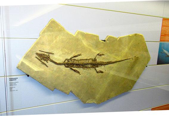 Un fossile al museo di Meride