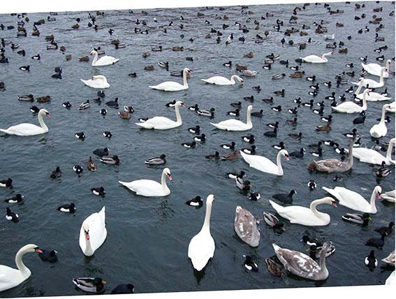 Stockholm (swan)