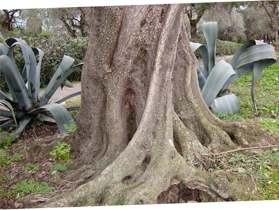 Ein Baum im Nervi Park