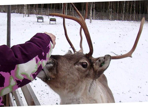 renna che dò da mangiare, Rovaniemi