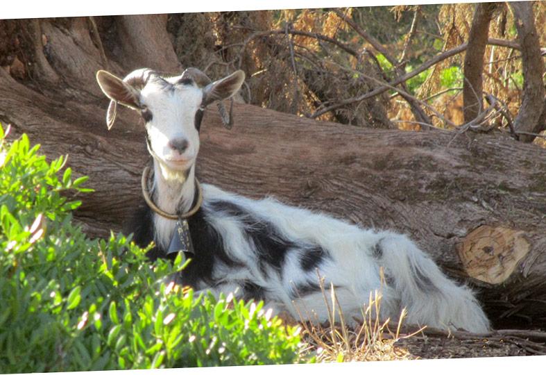 Magnifica capra a Cefalonia